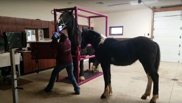 Tratamiento dental de un caballo - Sputnik Mundo