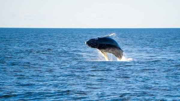 Un ejemplar de ballena azul saliendo a la superficie - Sputnik Mundo