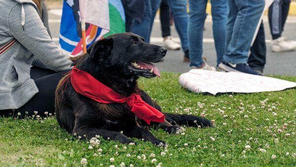 Perro presente en las manifestaciones de protesta en Chile - Sputnik Mundo