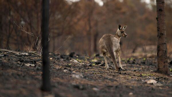 Un canguro en el bosque en Australia - Sputnik Mundo