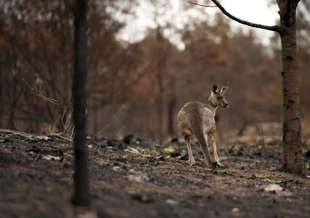 Un canguro en el bosque en Australia