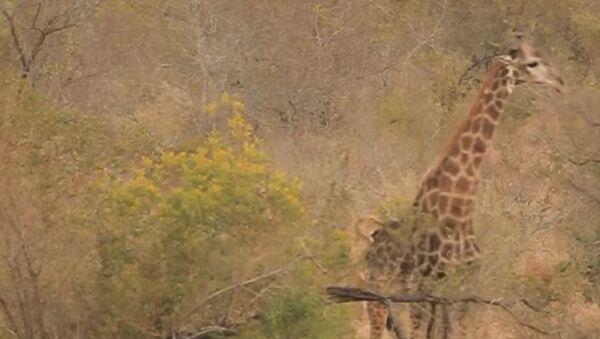 Una leona ataca a una jirafa - Sputnik Mundo