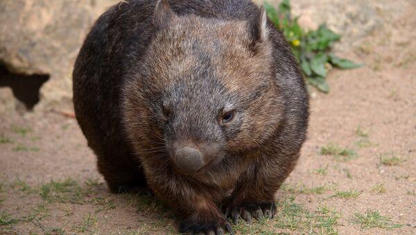 Wombat - Sputnik Mundo