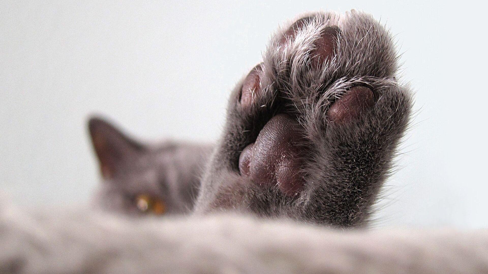 Una pata de un gato (imagen referencial) - Sputnik Mundo, 1920, 08.04.2021