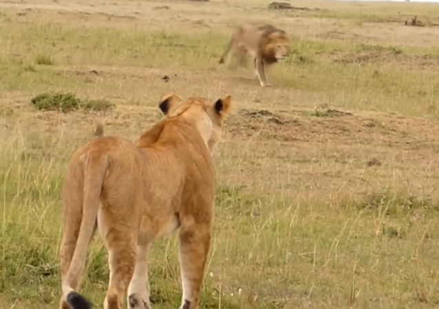 Un león le enseña a una leona cómo librarse de un grupo de hienas