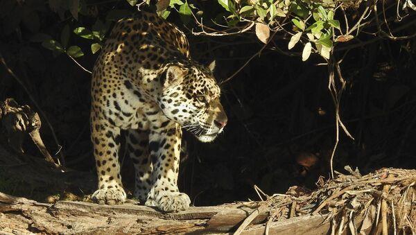 Yaguareté (Panthera onca) - Sputnik Mundo