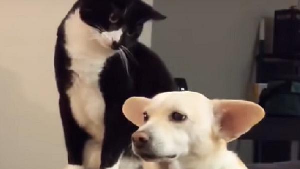 Un gato golpea a un perro y se arrepiente instantáneamente - Sputnik Mundo