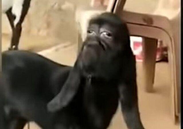 Una cabra con rostro humano
