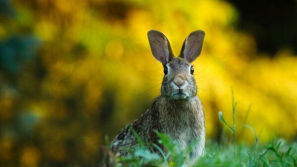 El conejo - Sputnik Mundo