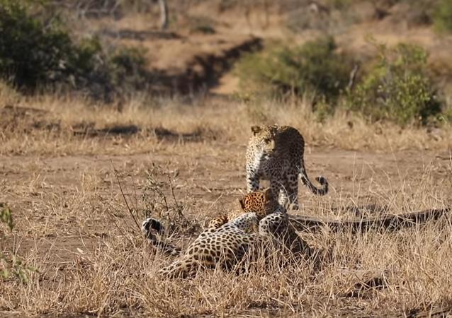 Una leoparda acaba con el feroz combate entre dos machos