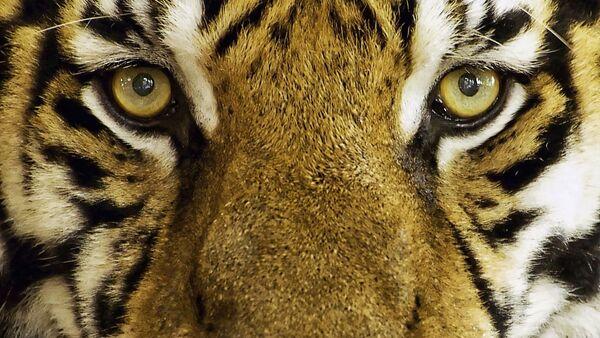 Un tigre, referencial - Sputnik Mundo