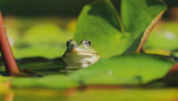 Una rana en el agua. Imagen referencial - Sputnik Mundo