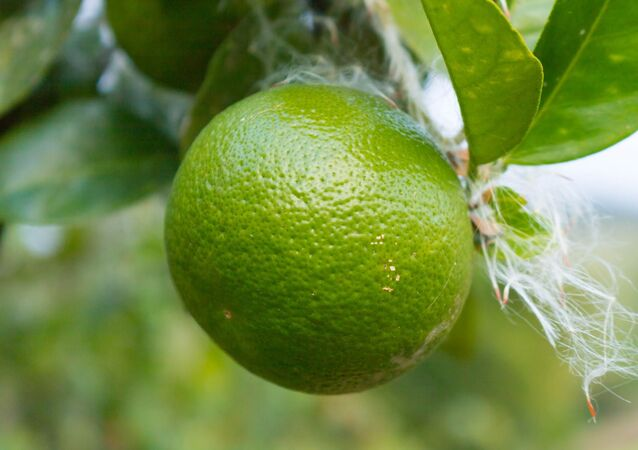 Limones criollos