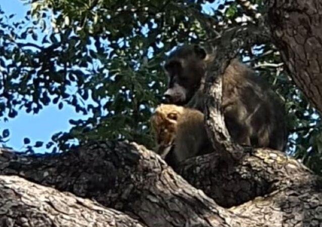 Un mono con un cachorro de león