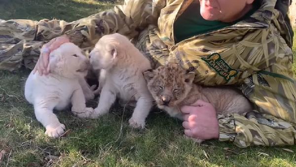 Nacen en Crimea cachorros de león de distintas coloraciones - Sputnik Mundo