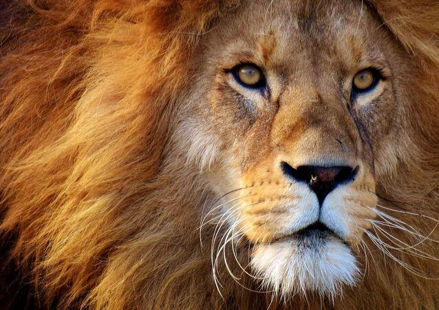 Primer plano de león
