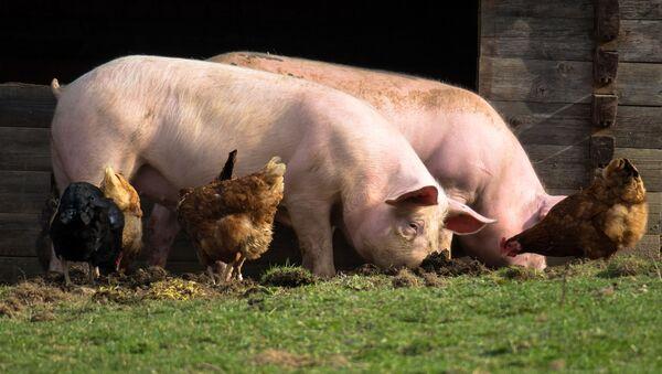 Cerdos y gallinas (imagen referencial) - Sputnik Mundo