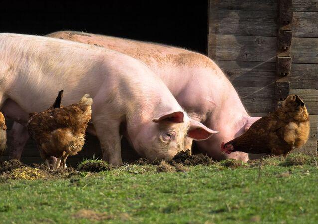Cerdos y gallinas (imagen referencial)