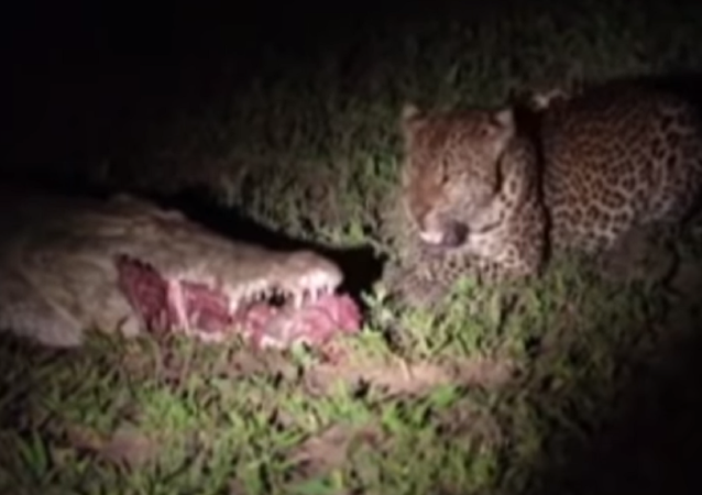 Un intrépido leopardo le roba la cena a un cocodrilo despistado en Zambia