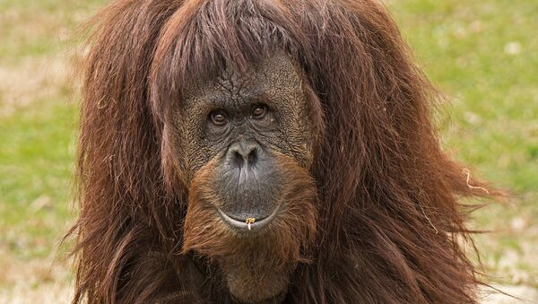 Un orangután - Sputnik Mundo