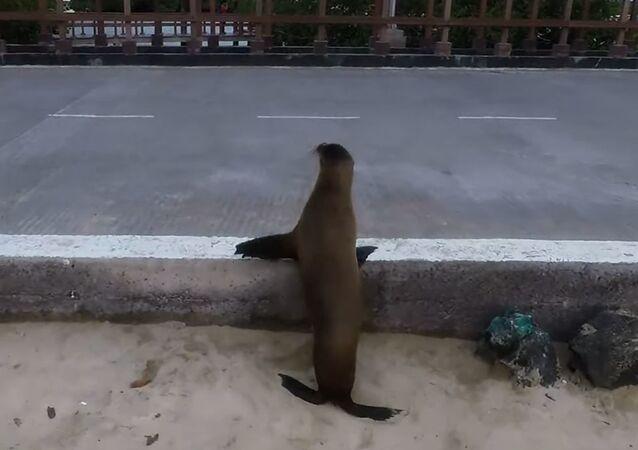 León marino cruza una carretera