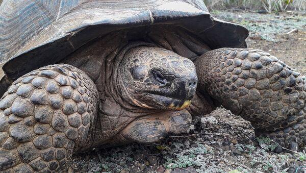 Una tortuga gigante, foto de archivo - Sputnik Mundo