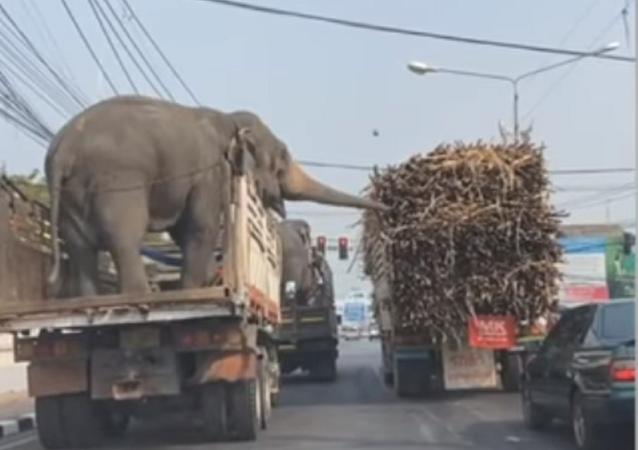 Unos elefantes intentan robar la caña de azúcar de un camión
