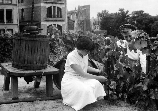 Mujeres cortando uvas para vino en 1951