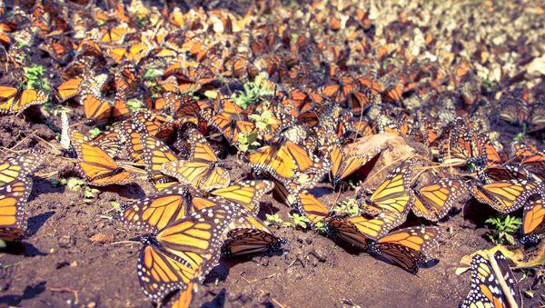 Mariposas monarca - Sputnik Mundo