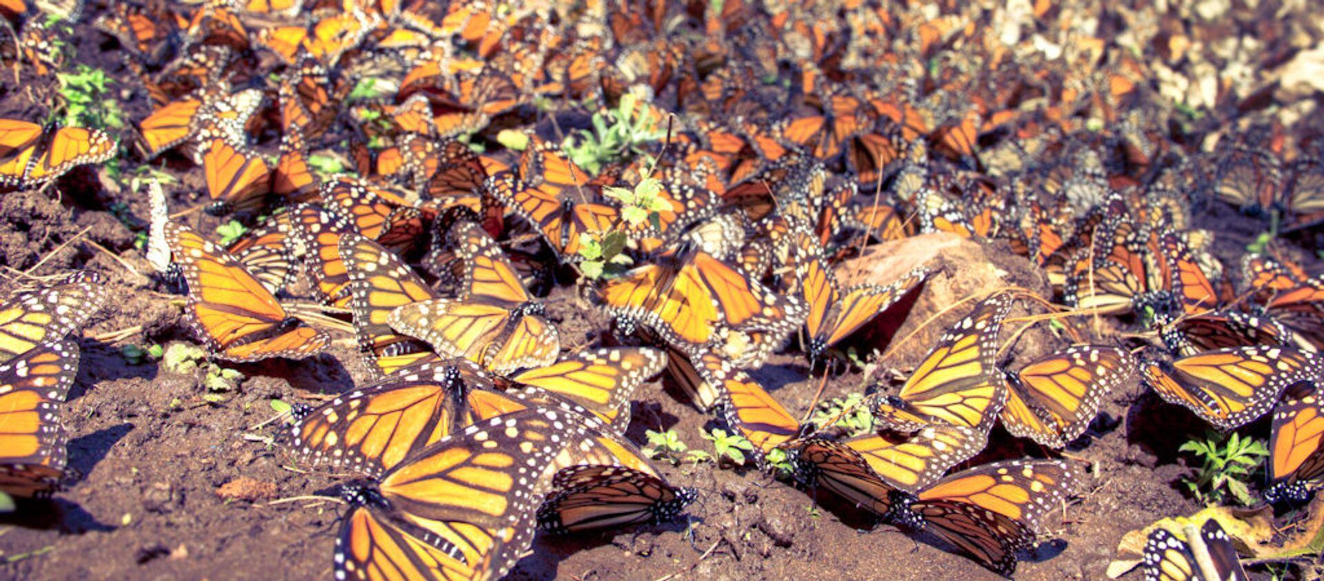 Mariposas monarca - Sputnik Mundo, 1920, 13.03.2020
