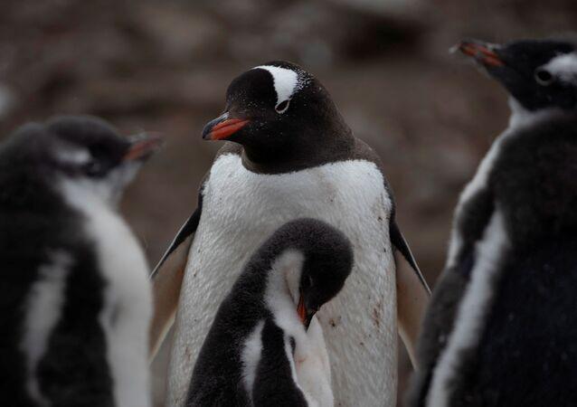 El fin de los pingüinos, ¿más cerca de lo que creemos?