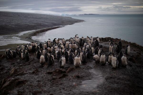 El fin de los pingüinos, ¿más cerca de lo que creemos? - Sputnik Mundo