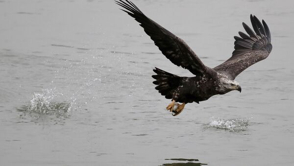 Un águila (imagen referencial) - Sputnik Mundo