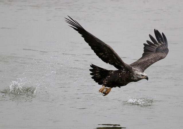 Un águila (imagen referencial)