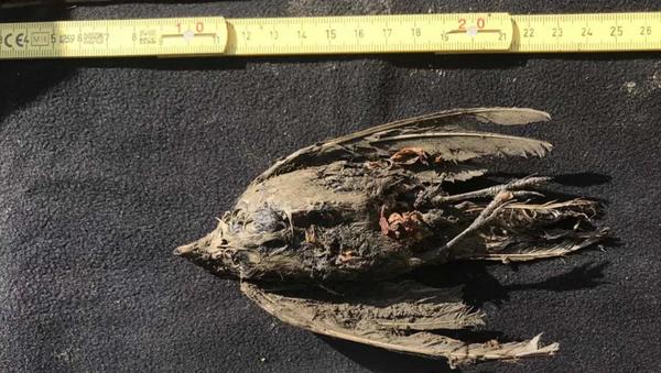 Restos de un pájaro encontrado en Siberia - Sputnik Mundo