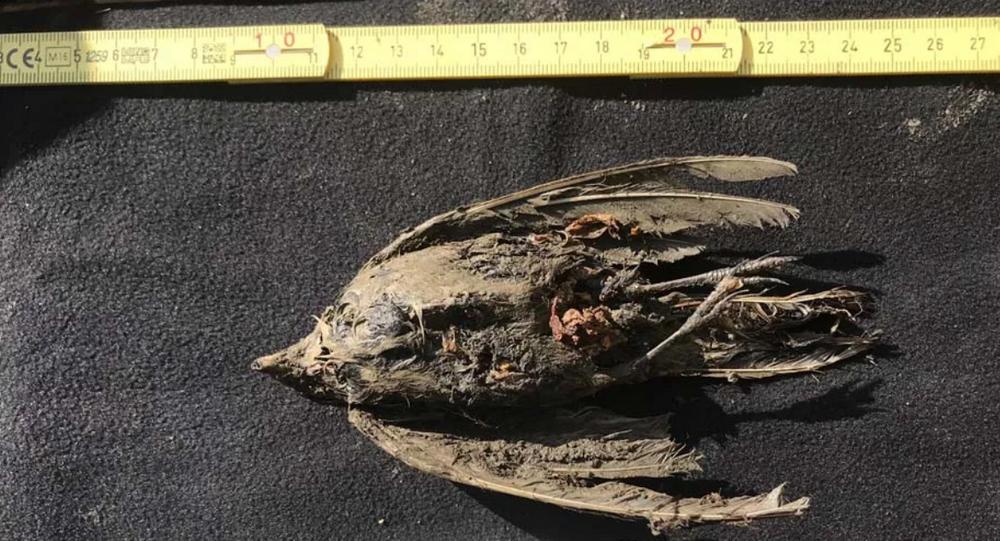 Restos de un pájaro encontrado en Siberia