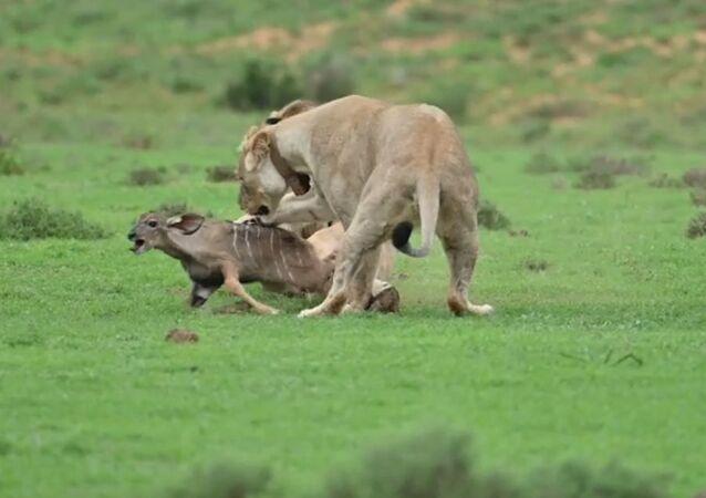 Unos leones juegan con su presa
