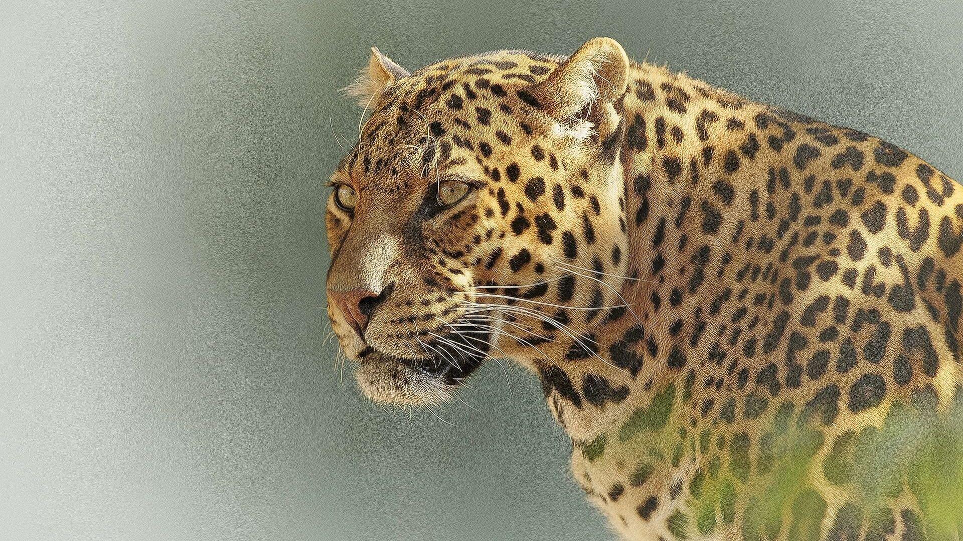 Un leopardo - Sputnik Mundo, 1920, 25.02.2021