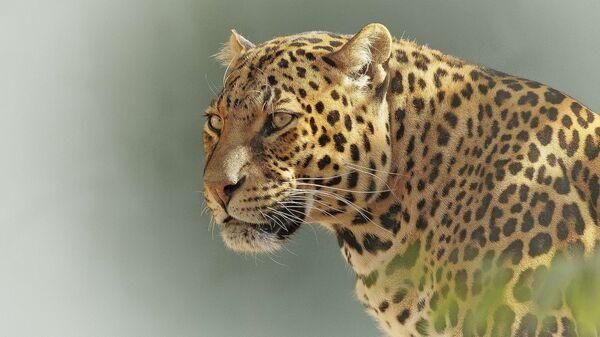 Un leopardo - Sputnik Mundo