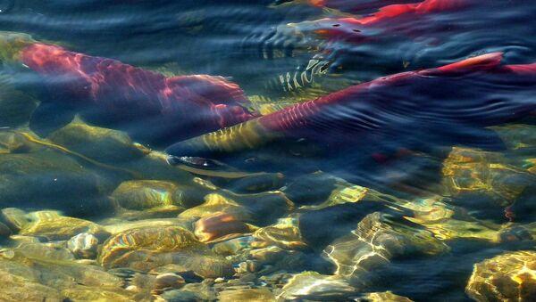 Salmones (imagen referencial) - Sputnik Mundo