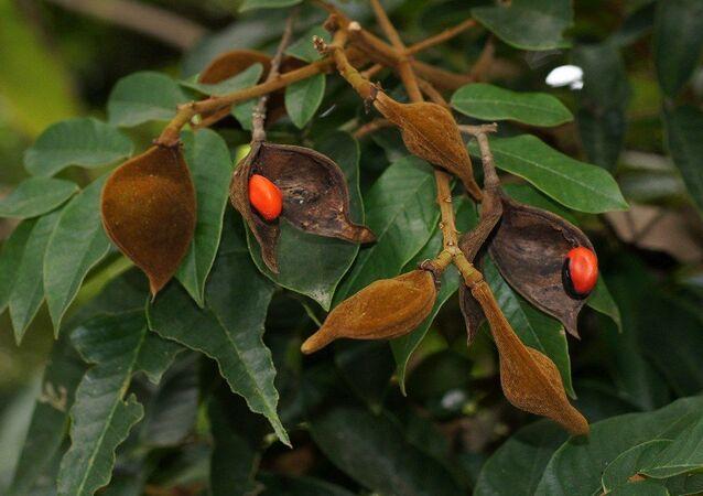 Un árbol del huayruro