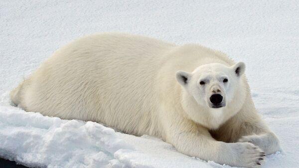 Un oso polar en el océano Ártico - Sputnik Mundo