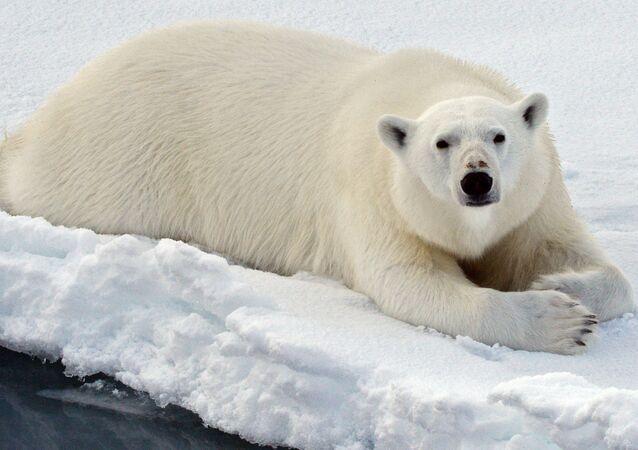 Un oso polar en el océano Ártico