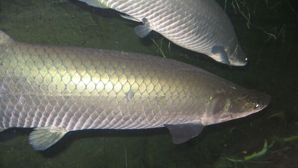 Paiche, pez de agua dulce - Sputnik Mundo