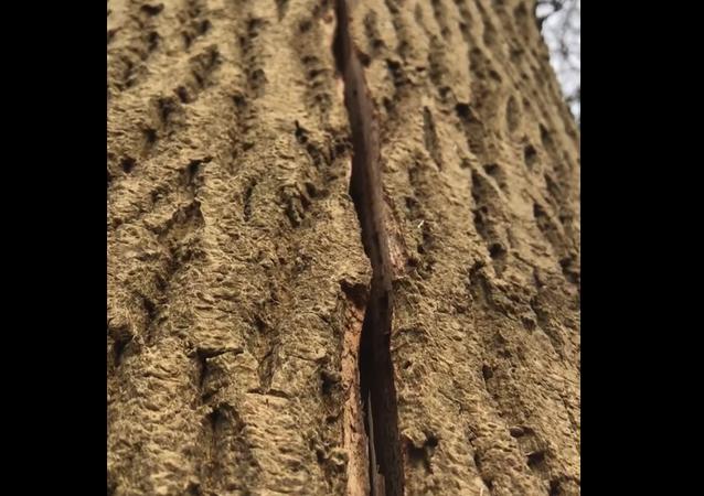Insólito: este árbol respira ante la atónita mirada de unos taladores