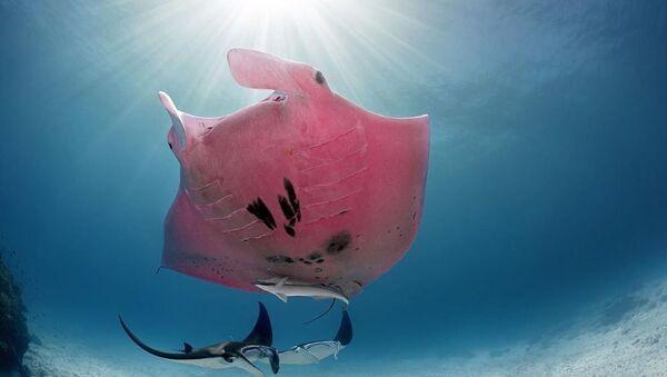 Inspector Clouseau, la singular mantarraya rosa de la Gran Barrera de Coral - Sputnik Mundo
