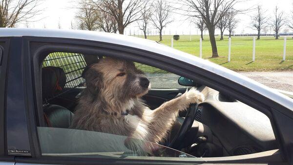 Kratu, perro de rescate del Reino Unido  - Sputnik Mundo