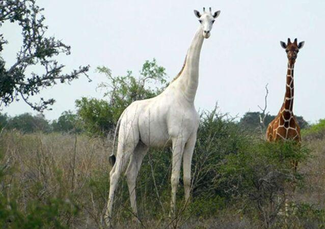 Jirafa blanca en la reserva de Ishaqbini Hirola, Kenia