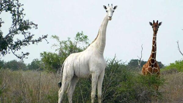 Jirafa blanca en la reserva de Ishaqbini Hirola, Kenia - Sputnik Mundo