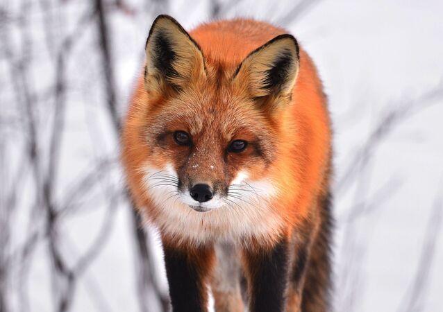 Un zorro, foto de archivo